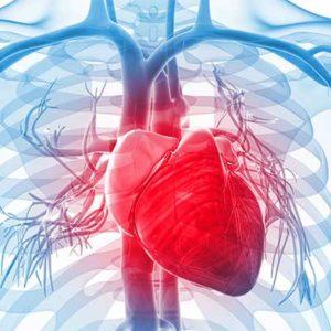 Сердечно - сосудистая система